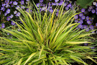 Terra Nova Nurseries Hakonechloa 'Stripe It Rich' - Image