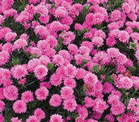 Yoder Aster Pink Henry III - Image