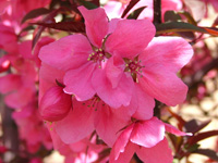 Lake County Nursery <em>Malus</em> 'Shotizam' Show Time - Image