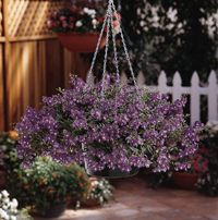 Ball Horticultural AngelMist Basket Purple Angelonia - Image