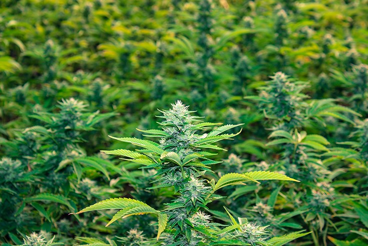 FDA Approve CBD Based Medication That Should Result in Reclassification