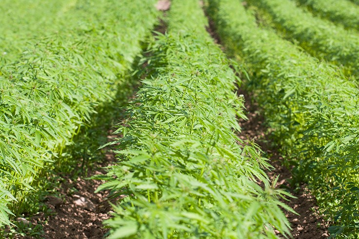 US Congress legalizes industrial hemp cultivation
