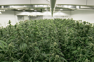 11 Tips for Winning a Marijuana Cultivation License