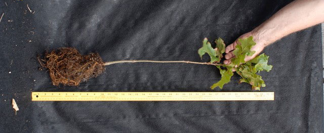 A common-sense approach to root pruning - Nursery Management