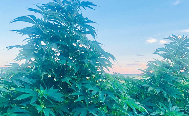 Newly Legal U S  Hemp Industry Sees Early Supply Boom