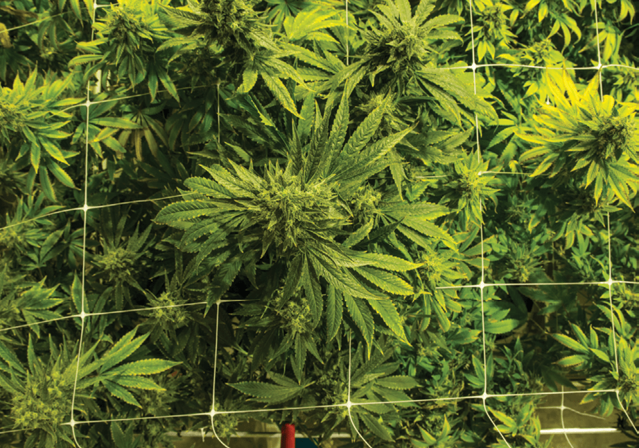 Cannabis Business Times' Top 10 Articles of 2019 7