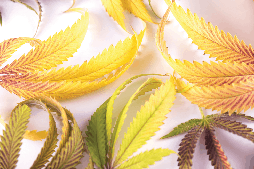 Cannabis Business Times' Top 10 Articles of 2019 6