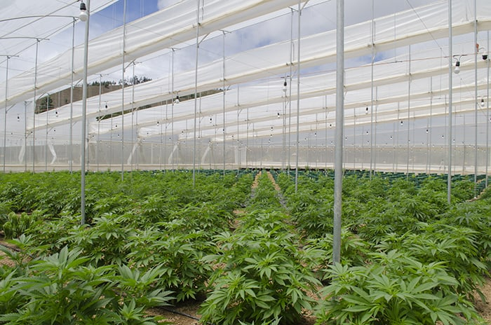 colombia medical cannabis greenhouse