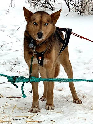blue steel dog iditarod
