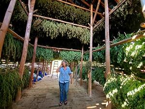 asheville hemp drying