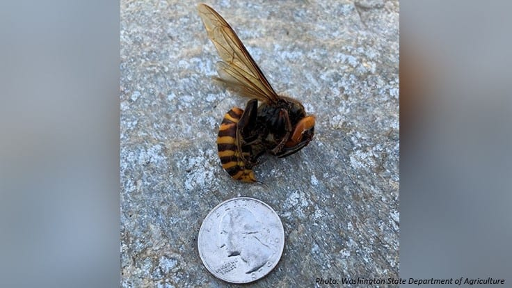 Third Asian Giant 'Murder' Hornet Found in Washington State