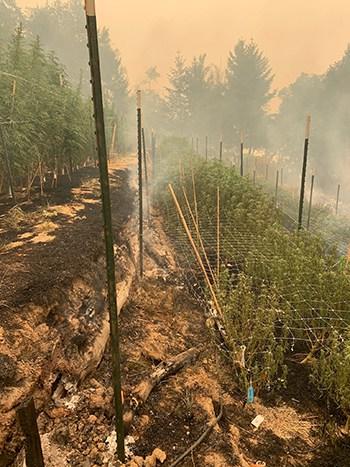 california wildfire cannabis