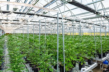 greenhouse cannabis