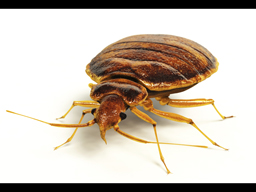 Terminix Releases List of Most-Infested Bed Bug Cities - Image