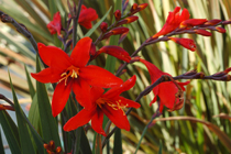 Crocosmia Twilight Fairy Series - Image