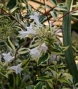 Twist of Lime variegated abelia - Image