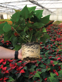 Forcing poinsettia propagation in mature plants