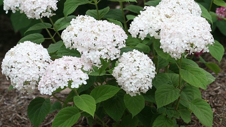 Asexual reproduction hydrangea