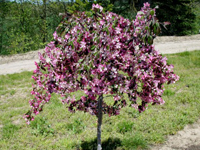 First Editions Ruby Tears Crabapple Tree - Image