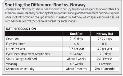Understanding The Roof Rat.