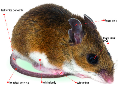 Annual Rodent Control Issue Deer Mice Vs House Mice Pct Pest