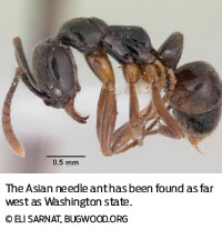 asian needle ant