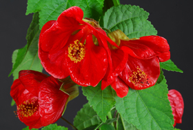 Lucky Lantern Abutilon Red - Image