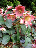 Helleborus Gold Collection 'Merlin' - Image
