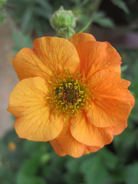 Geum 'Totally Tangerine' - Image