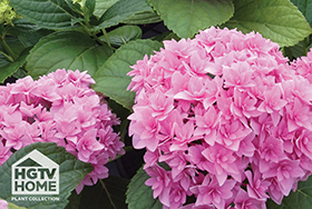 'Double Hot Pink' Hydrangea - Image