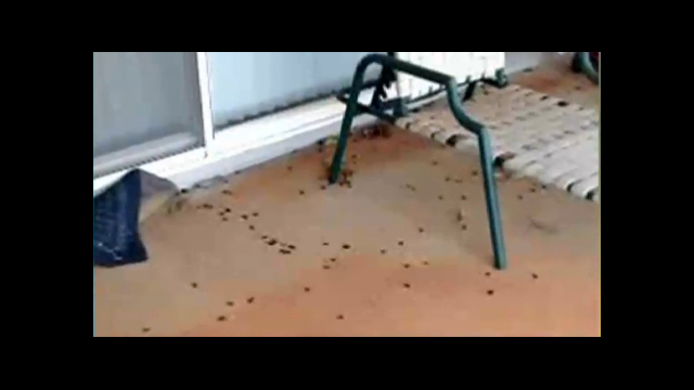 Video: Thousands of Roaches Invade Hawaii Neighborhood - Image