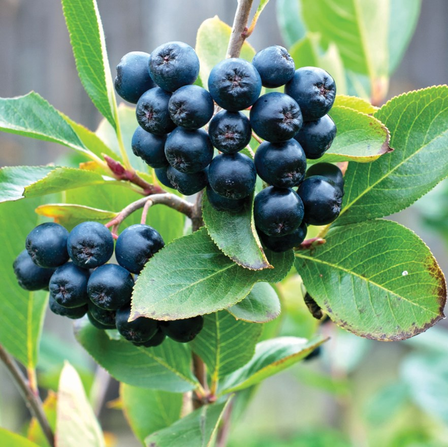 Native Edible Plants Australia: A Native Super-edible On The Rise