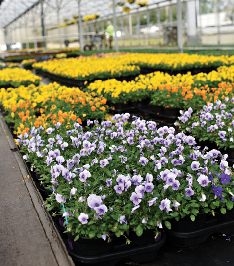 While Oelschig doesn't predict growth in annuals and perennials sales this spring, he and his staff have worked hard to get the greenhouses back to normal in the time since Hurricane Matthew.