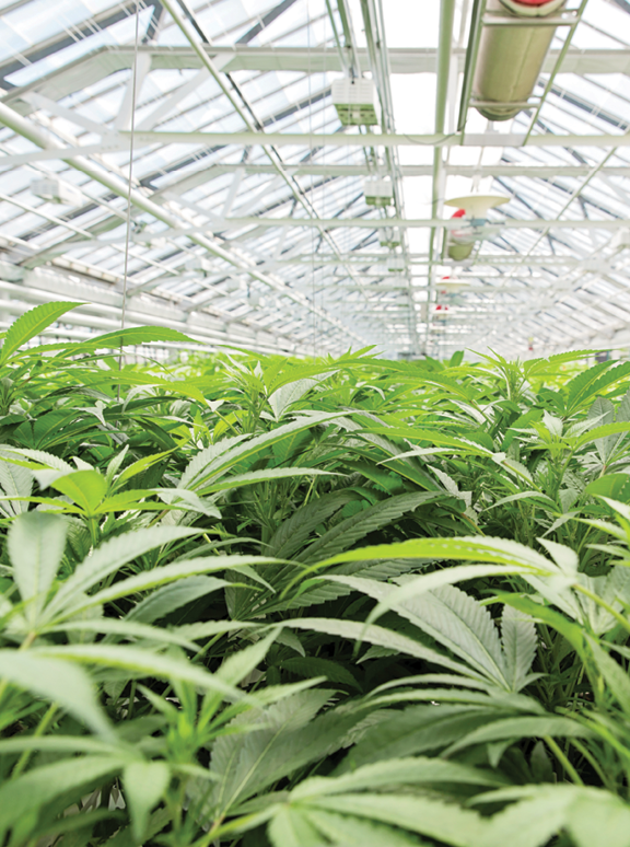 11 tips for winning a marijuana cultivation license - Greenhouse