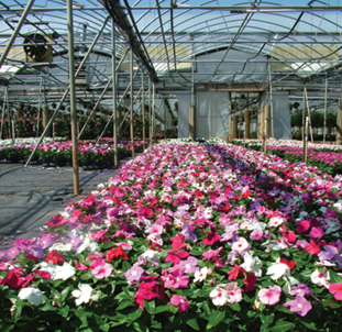 Vinca Is Making A Very Good Comeback In The Last Few Years Since They Got Cora Mix Says Baucom S Nursery Head Grower Jeff Watson