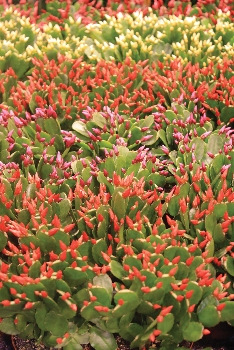 Christmas Cactus Diseases.Holiday Cactus Pointers Greenhouse Management