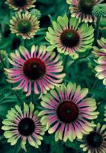 Jelitto Perennial Seeds Nursery Management
