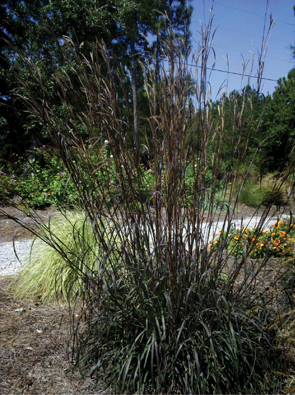 Grasses such as Andropogon Rain Dance and Miscanthus Fat Cat will respond well to bulking in summer and fall months.