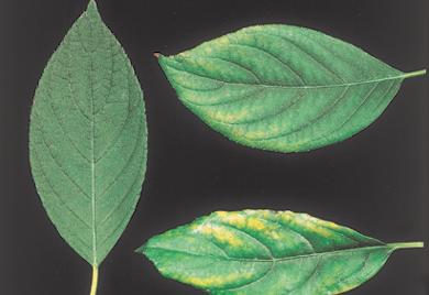 Hydrangea primer: Nutrient management - Nursery Management