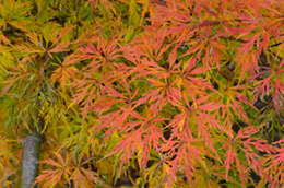 Acer Palmatum Nursery Management