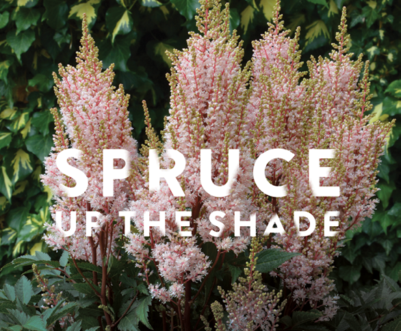 Spruce Up The Shade Nursery Management