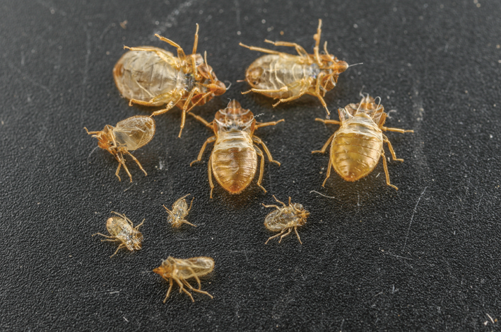 Smell Associated With Bed Bugs