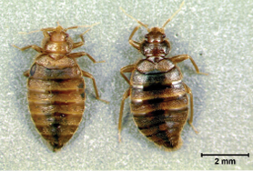 The New Old Bed Bugs Tropical Bed Bugs Pct Pest Control