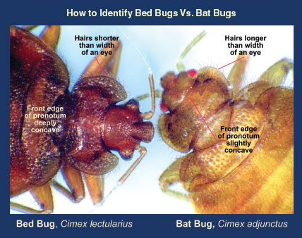 How To Deal With Bat Bugs Pct Pest Control Technology
