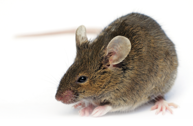 10 Reasons Why House Mice Thrive - PCT - Pest Control Technology