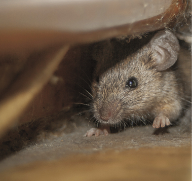 Do Mice Move And Store Food