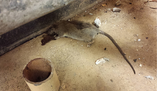 Deer Mice More Than Just A Carrier Of Lyme Disease Pct Pest Control Technology