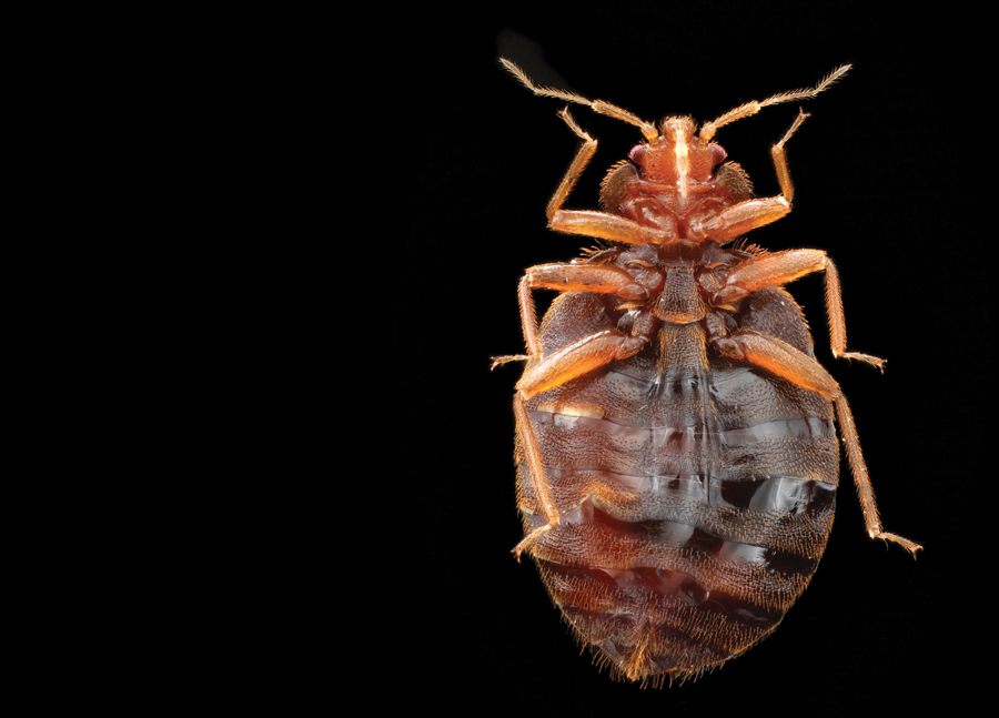 How Long Do Bed Bugs Live Pct Pest Control Technology