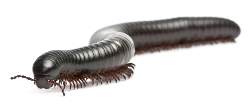 pct magazine may 2018 meet the millipede
