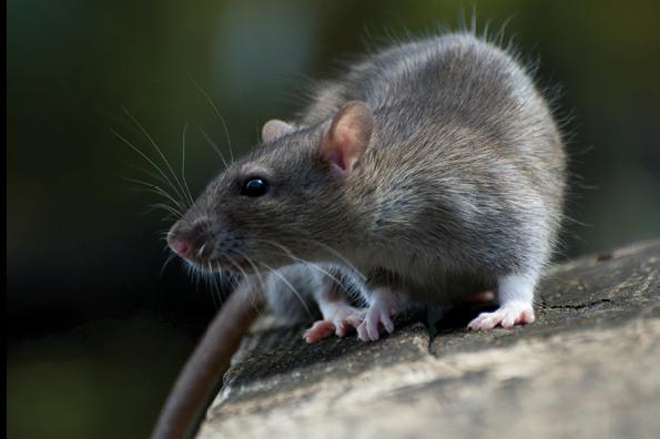Rats: Ultimate Survivors - PCT - Pest Control Technology
